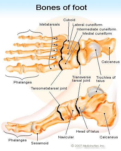 bones_of_foot